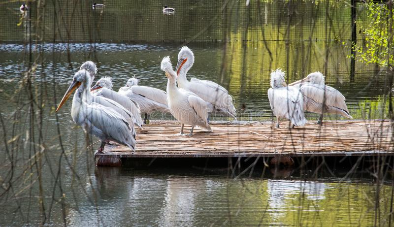 Pelecanus onocrotalus / Great white pelican in a group on a platform on a lake. Great white pelican also known as the eastern white pelican, rosy pelican or royalty free stock photo