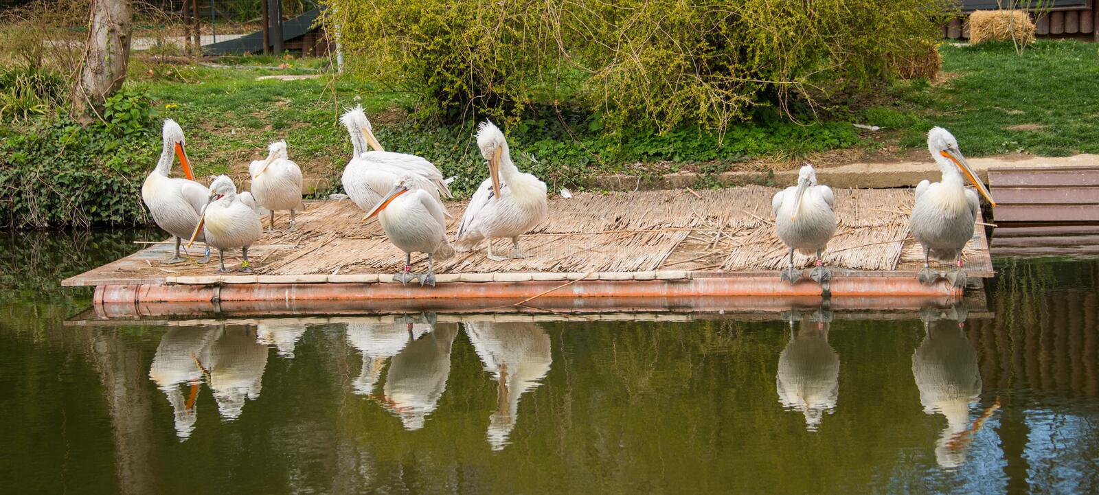 Pelecanus onocrotalus / Great white pelican in a group on a platform on a lake. Great white pelican also known as the eastern white pelican, rosy pelican or royalty free stock images