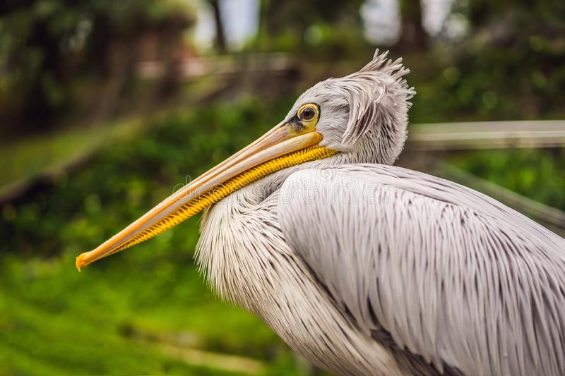 Great white pelican also known as the eastern white pelican, rosy pelican or white pelican Pelecanus onocrotalus royalty free stock photography