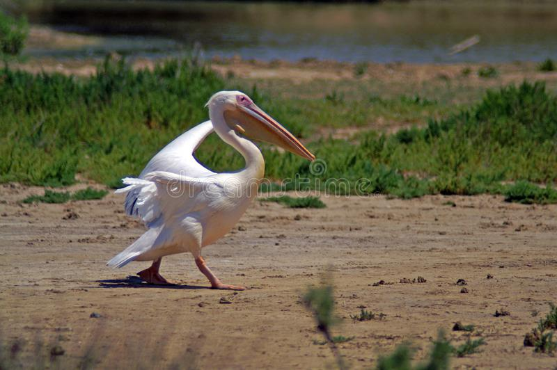 The great white pelican also known as the eastern white pelican royalty free stock photos