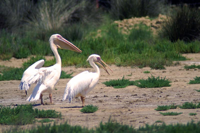 The great white pelican also known as the eastern white pelican, rosy pelican or white pelican. Is a bird in the pelican family. It breeds from southeastern royalty free stock image