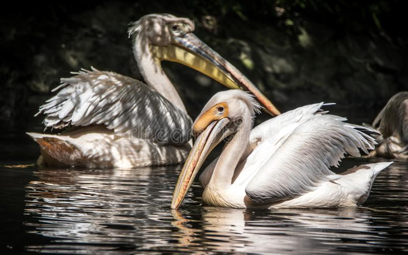 The great white pelican also known as the eastern white pelican, rosy pelican or white pelican. The great white pelican is a bird in the pelican family. It royalty free stock image