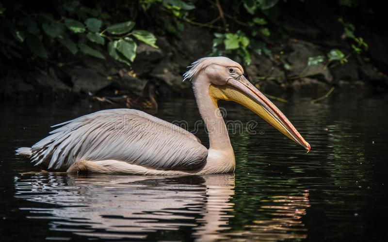 The great white pelican also known as the eastern white pelican, rosy pelican or white pelican. The great white pelican is a bird in the pelican family. It stock photography