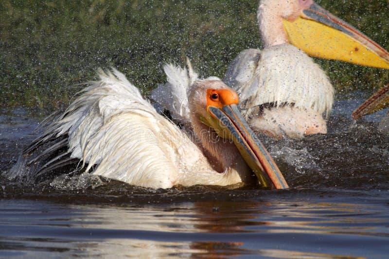 Download Great White Pelican Bathing, Lake Nakuru Stock Photo - Image: 11879790