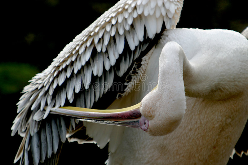 Great White Pelican is cleaning his feathers with the hook of the beak royalty free stock photo