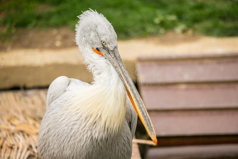 Great white pelican close up. Great white pelican also known as the eastern white pelican, rosy pelican or white pelican is a bird in the pelican family. It stock photo