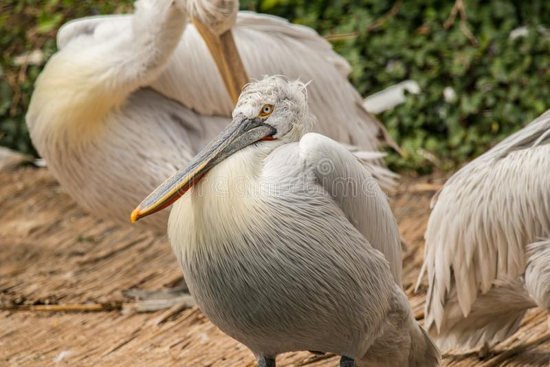 Great white pelican close up. Great white pelican also known as the eastern white pelican, rosy pelican or white pelican is a bird in the pelican family. It stock photos
