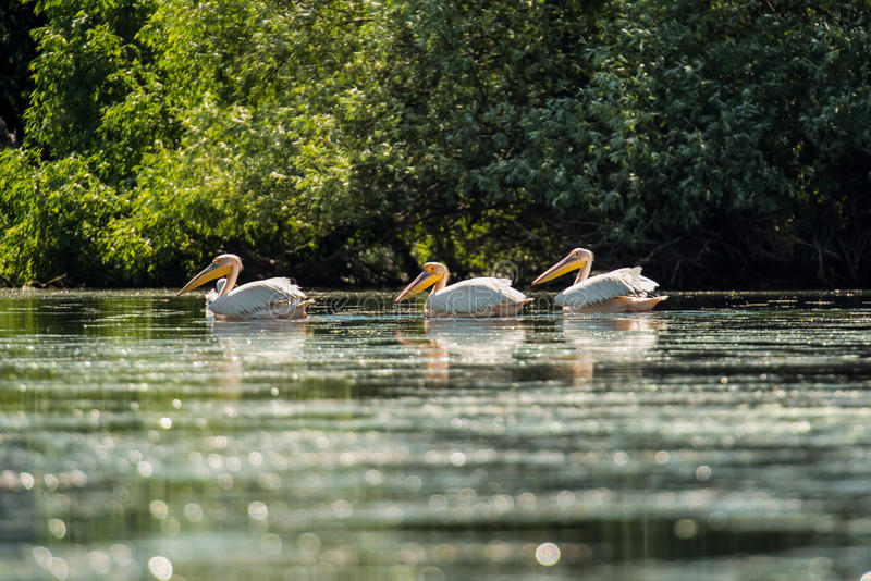 Great white pelican floating over water royalty free stock images
