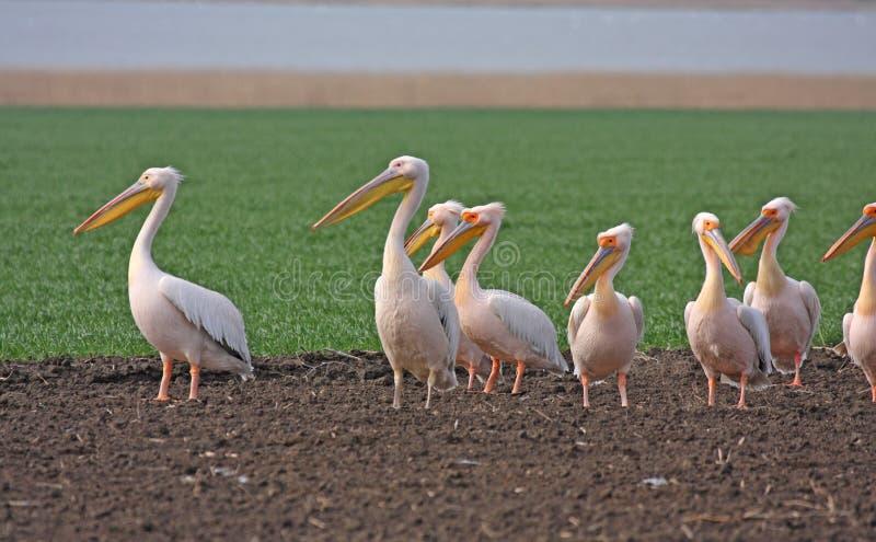 Download Great white pelican flock stock photo. Image of pelican - 19444712