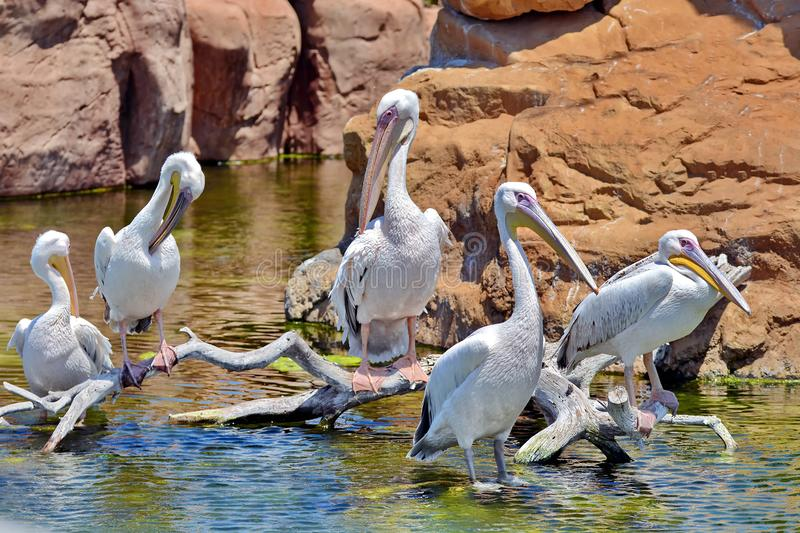 Great White Pelican. On branch royalty free stock photography