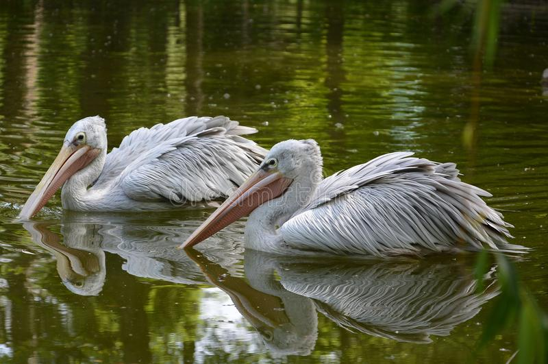 Great white pelican. The great white pelican Pelecanus onocrotalus also known as the eastern white pelican, rosy pelican or white pelican is a bird in the royalty free stock photography