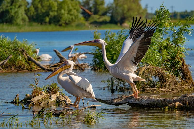 The Great White Pelican (Pelecanidae) flying in the Danube Delta stock photo