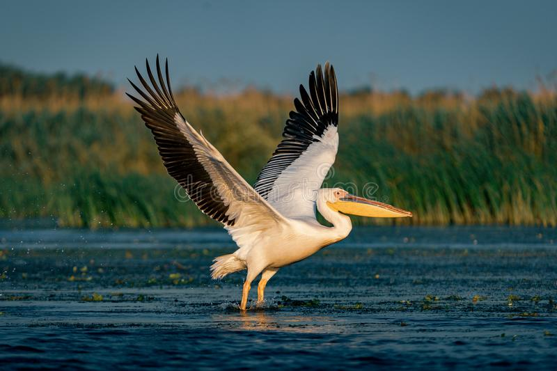 The Great White Pelican (Pelecanidae) flying in the Danube Delta royalty free stock photo