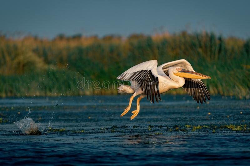 The Great White Pelican (Pelecanidae) flying in the Danube Delta stock images