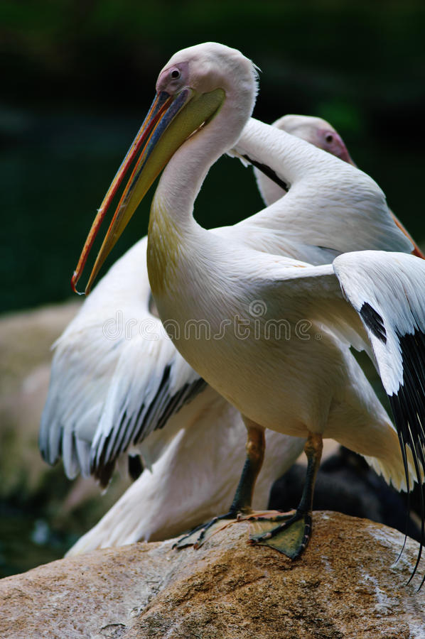 Great White Pelican (Pelecanus onocrotalus). The Great White Pelican, Pelecanus onocrotalus also known as the Eastern White Pelican or White Pelican is a bird in royalty free stock photography