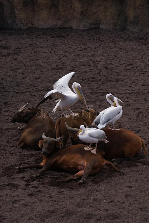 Great White Pelican - Pelecanus onocrotalus royalty free stock photos