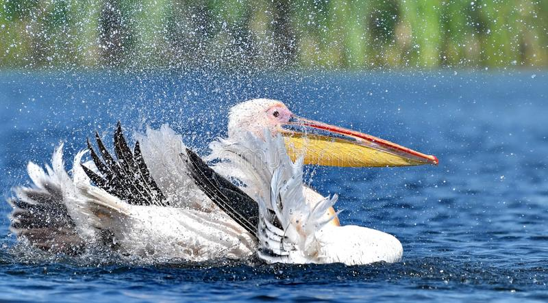 White pelicans Pelecanus onocrotalus. The Great White Pelican, Pelecanus onocrotalus also known as the Eastern White Pelican or White Pelican is a bird in the stock image