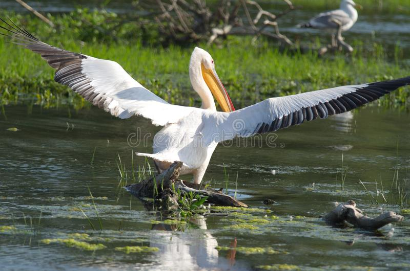 White pelicans Pelecanus onocrotalus. The Great White Pelican, Pelecanus onocrotalus also known as the Eastern White Pelican or White Pelican is a bird in the stock photos