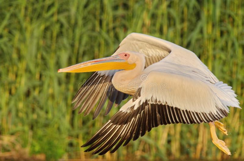 White pelicans Pelecanus onocrotalus. The Great White Pelican, Pelecanus onocrotalus also known as the Eastern White Pelican or White Pelican is a bird in the royalty free stock image