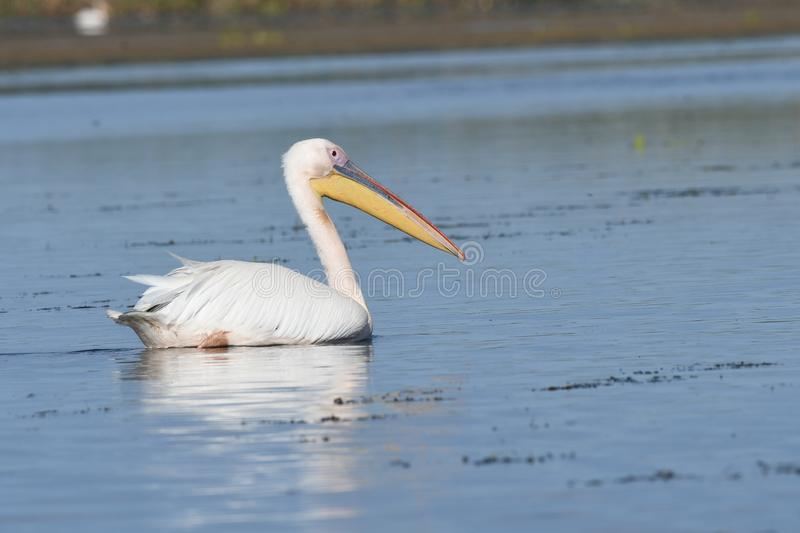 White pelicans Pelecanus onocrotalus. The Great White Pelican, Pelecanus onocrotalus also known as the Eastern White Pelican or White Pelican is a bird in the royalty free stock photos