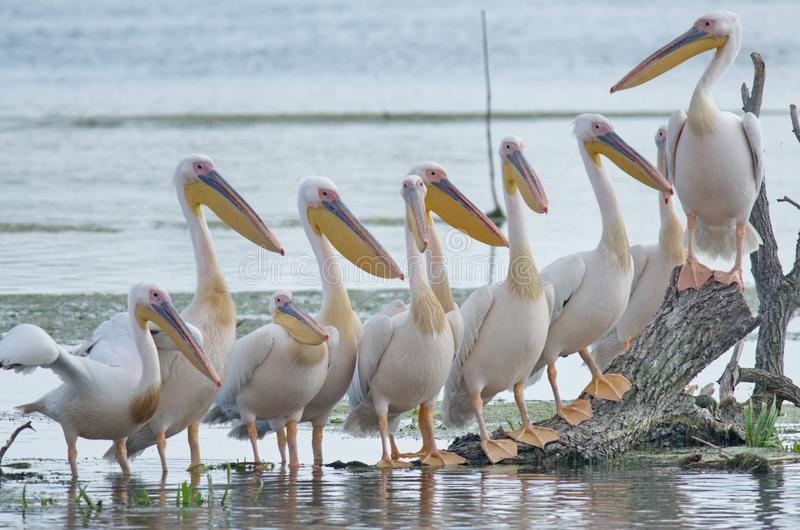 White pelicans Pelecanus onocrotalus. The Great White Pelican, Pelecanus onocrotalus also known as the Eastern White Pelican or White Pelican is a bird in the royalty free stock photo