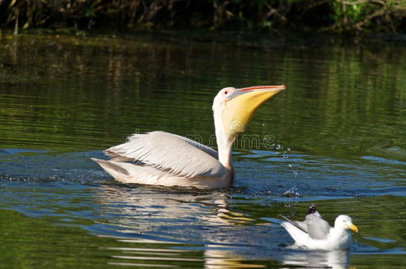 White pelicans Pelecanus onocrotalus. The Great White Pelican, Pelecanus onocrotalus also known as the Eastern White Pelican or White Pelican is a bird in the royalty free stock photography