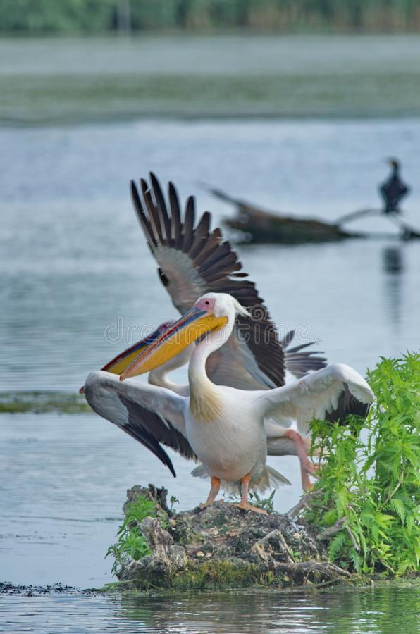 White pelicans Pelecanus onocrotalus. The Great White Pelican, Pelecanus onocrotalus also known as the Eastern White Pelican or White Pelican is a bird in the stock photo