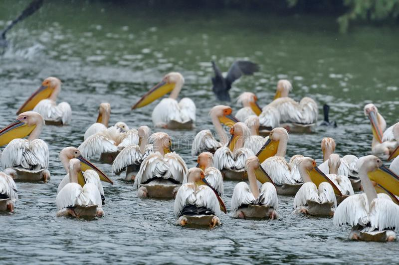 White pelicans Pelecanus onocrotalus. The Great White Pelican, Pelecanus onocrotalus also known as the Eastern White Pelican or White Pelican is a bird in the stock images