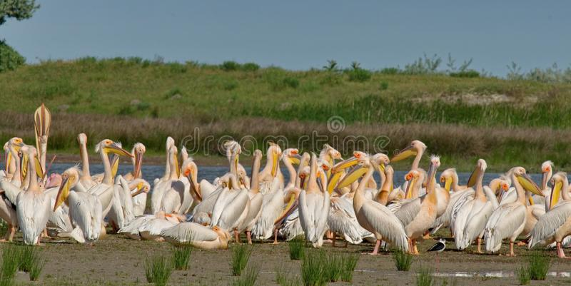 White pelicans Pelecanus onocrotalus. The Great White Pelican, Pelecanus onocrotalus also known as the Eastern White Pelican or White Pelican is a bird in the stock photography