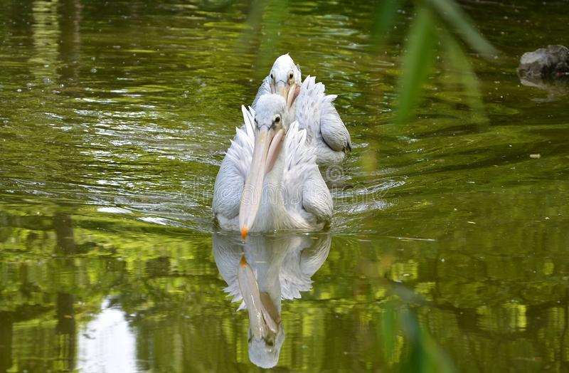 Great white pelican. The great white pelican Pelecanus onocrotalus also known as the eastern white pelican, rosy pelican or white pelican is a bird in the royalty free stock image