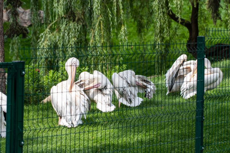 Great white pelican, Pelecanus onocrotalus also known as the eastern white pelican royalty free stock photos