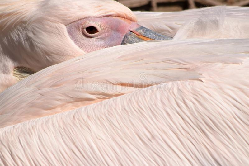 Close-up of an eye of the rosy pelican resting. The great white pelican Pelecanus onocrotalus also known as the eastern white pelican, rosy pelican or white royalty free stock photos