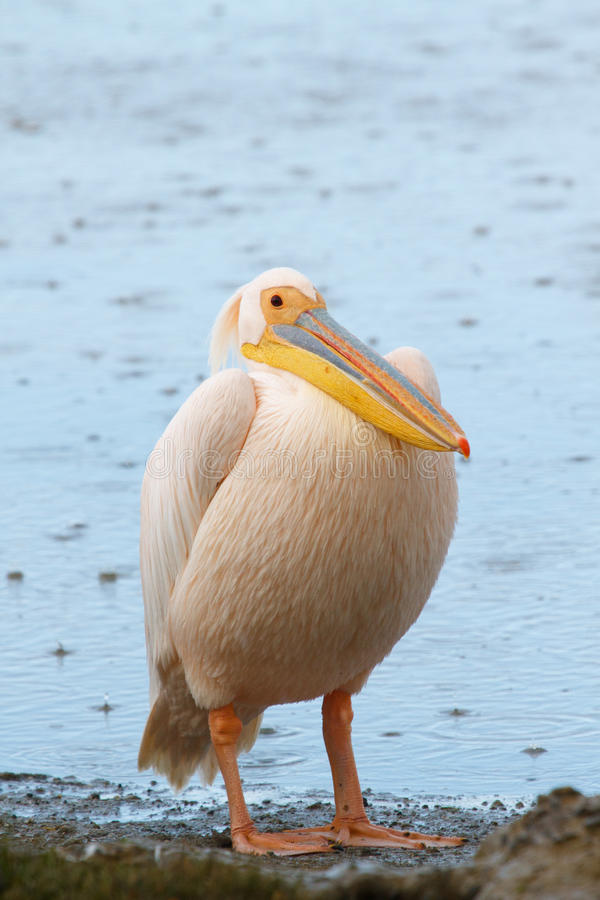Great white pelican (Pelecanus onocrotalus) in the rain royalty free stock photography