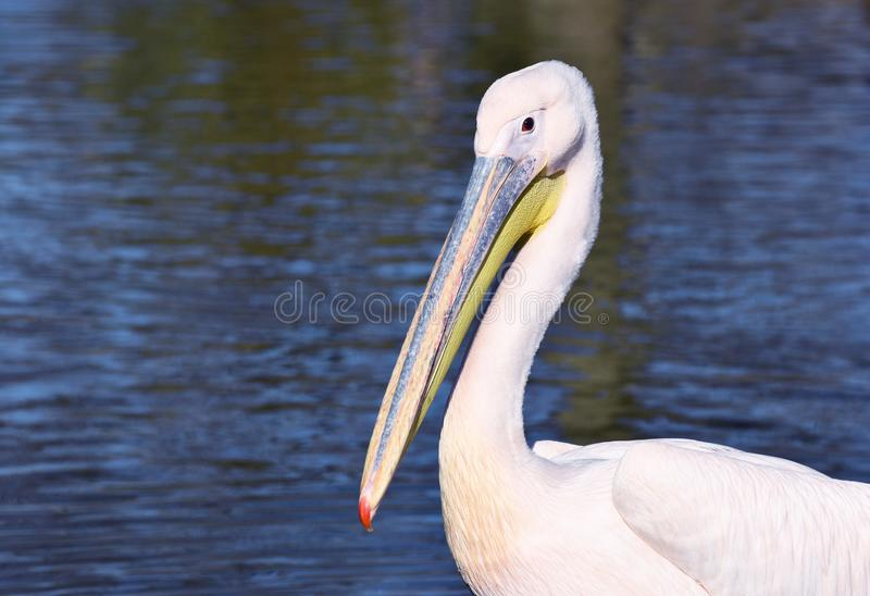 Great White Pelican Portrait. A Great White Pelican sits by the water`s edge looking at the photographer with copy space to the left of the main subject royalty free stock image