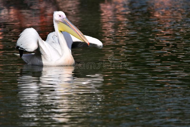 Great white pelican portrait. A great white pelican swimming on a lake with its reflection visible in the water. This image has an area perfect for text or copy royalty free stock image