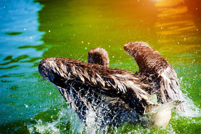 Great white pelican swimming on lake and splashes water royalty free stock photos