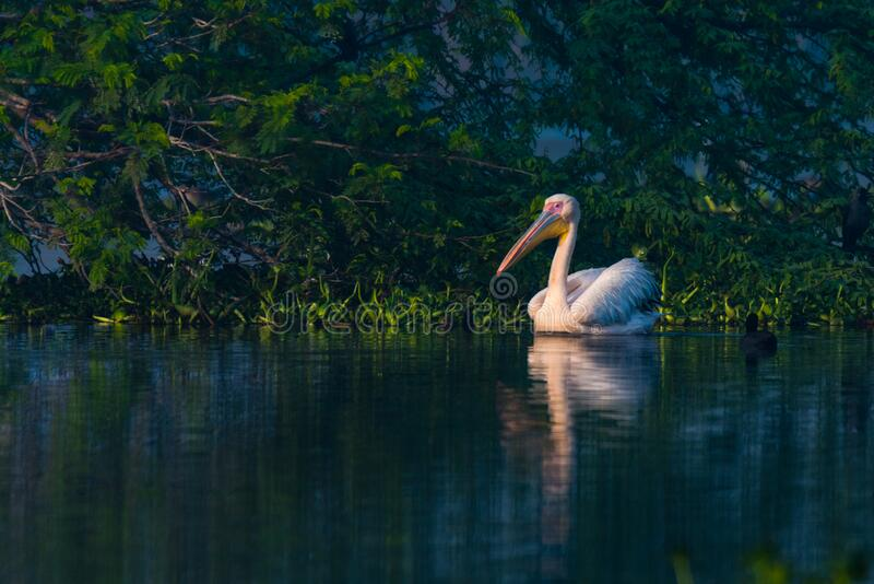 Great white pelican swimming stock images