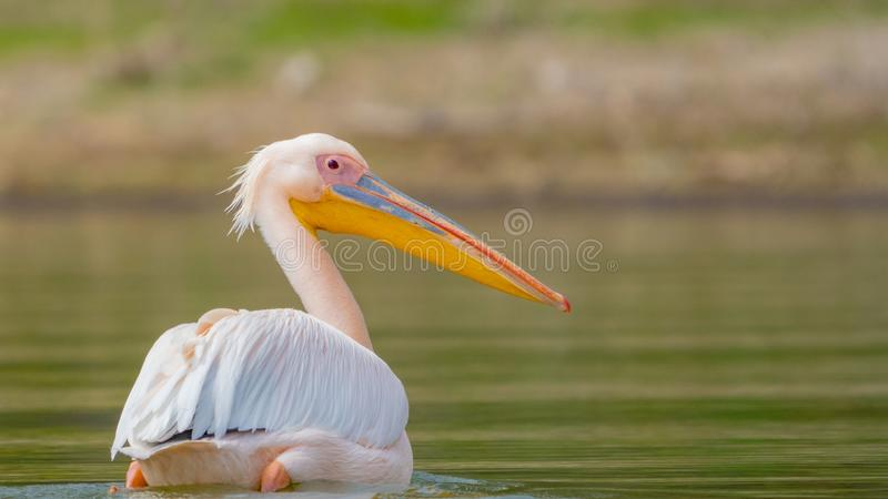 Great white pelican swims on lake naivasha in the morning royalty free stock photography