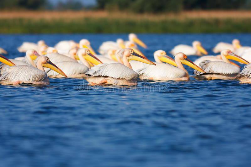 Download Great White Pelicans stock image. Image of great, bird - 24107081
