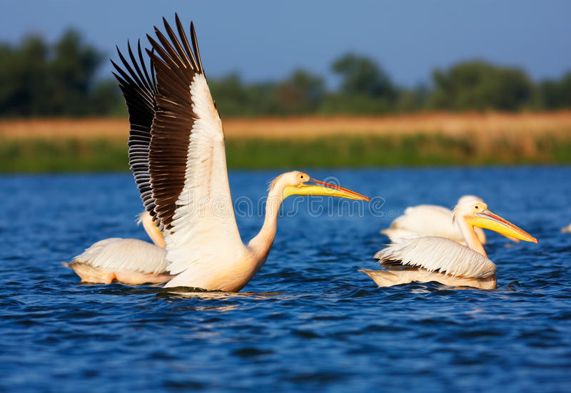 Great White Pelicans stock images