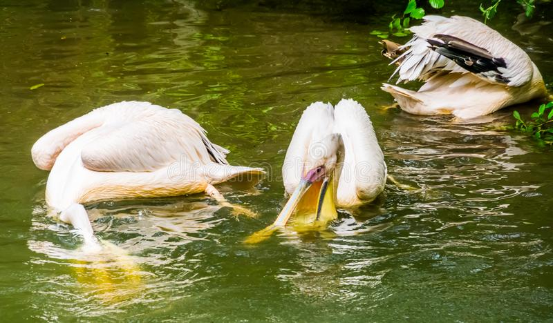 Great white pelicans hunting for fish in the water together, typical pelican behavior, common bird specie from Eurasia. Some Great white pelicans hunting for stock photos
