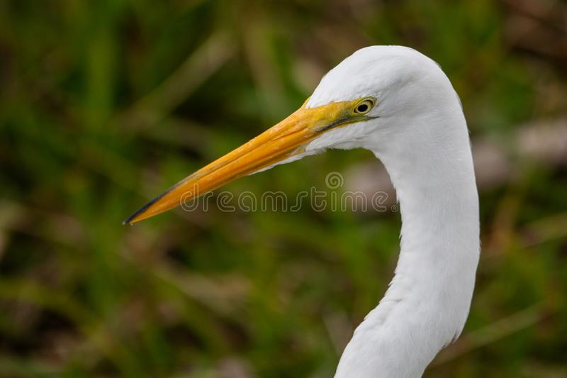 Great White-Reiher Ardea Nahaufnahme alba des Kopfes stockfotos