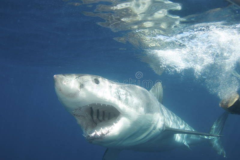 Great White Shark. With mouth open against blue background