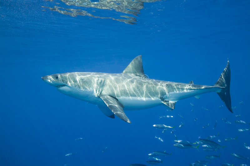 Great White Shark. Traveling underwater in the Pacific Ocean