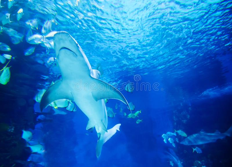 The great white shark in the big blue stock images