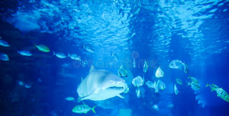 The great white shark in the big blue stock photos