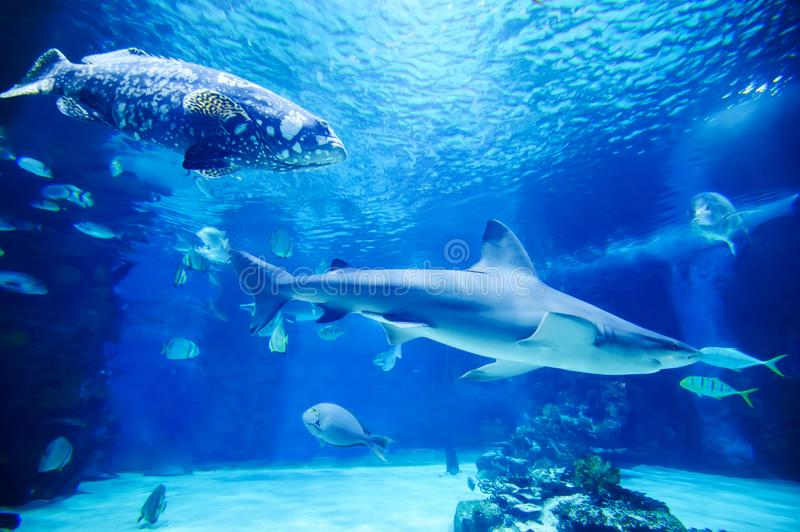 The great white shark in the big blue royalty free stock images