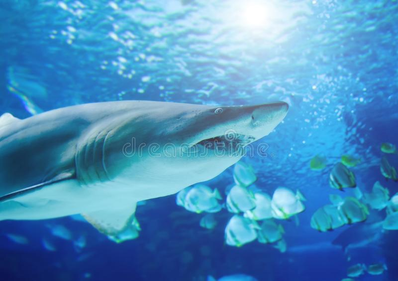 The great white shark in the big blue royalty free stock photo