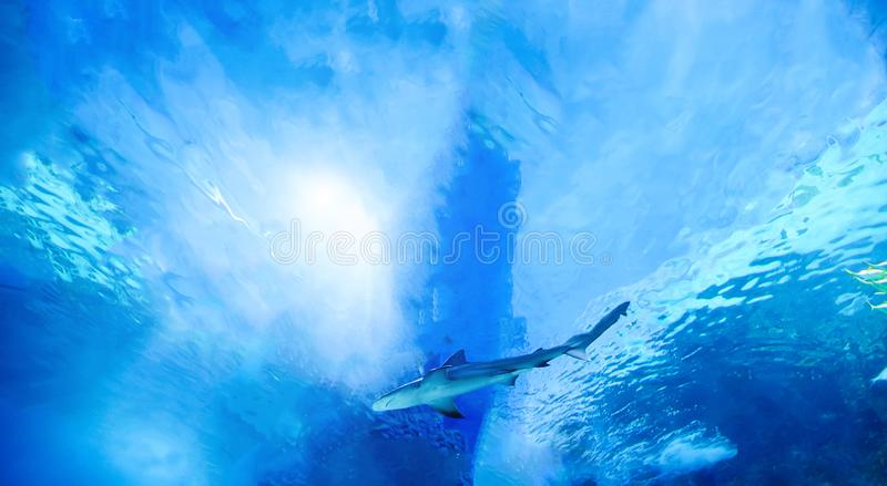 The great white shark in the big blue stock photography