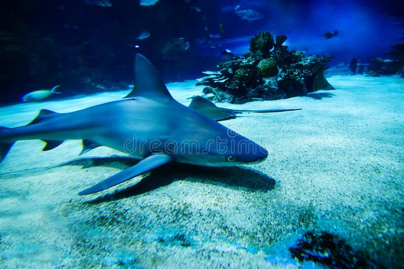 The great white shark in the big blue stock photo